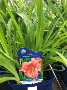 Daylilies are low-maintenance flowering perennial plants known for their abundance of cheery blooms. Here's how to plant daylilies in your garden. Organic Mulch, Organic Gardening Tips, Day Lilies Care, Reblooming Daylilies, California Lilac, Pink Dianthus, Creeping Phlox, Landscaping Around Trees, Dry Garden
