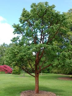 1000 images about acer griseum on pinterest trees for Small specimen trees