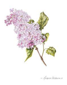 Syringa vulgaris - Lila © Gaynor Dickeson DipSBA (Dist) SBA