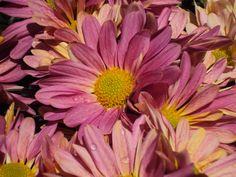 Eugene Chrysanthemum