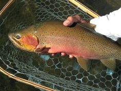 Chasing Western Trout