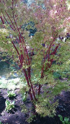 Acer palmatum 'Sangokaku', mooie japanse esdoorn met rode takken, prachtige herfstkleur, groeit traag