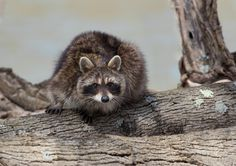 https://flic.kr/p/DNuMHg | Raccoon | Though very common this particular raccoon…