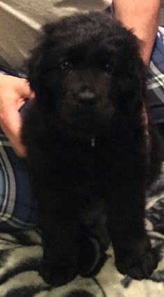 Too cute for words! Chief our Newfoundland!