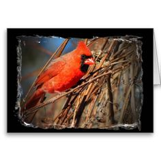Greeting card with Male Cardinal photo