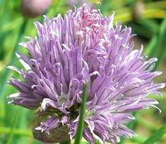 Chive Plant Flowers make the prettiest vinegars and the tastiest butters. Rare Flowers, Edible Flowers, Beautiful Flowers, Allium Schoenoprasum, Chives Plant, Chive Blossom, Autumn Scenes, Butter, Organic Herbs