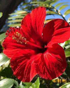 Drawing Image Of A Red Hawaiian Flower Drawing Image Of A Red Hawaiian Flower. Drawing Image Of A Red Hawaiian Flower. This Gorgeous Hibiscus 🌺 in hawaiian flower drawing This Gorgeous Hibiscus 🌺 Beautiful Rose Flowers, Exotic Flowers, Amazing Flowers, Red Flowers, Beautiful Flowers, Pink Roses, Yellow Roses, Hawaiian Flowers, Hibiscus Flowers