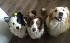 Trio Border Collies