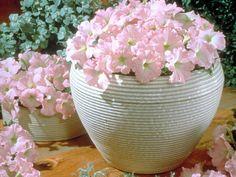 Petunia x hybrida 'Celebrity Chiffon Morn'