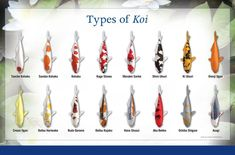Do you have a pond with Koi but don't know what type of Koi you have? Check  out our guide below to identify your fish friends. For those who don't have a Koi pond yet but are interested in having one built read on to hear how we at Waterpaw design pond's to be ideal homes for your aquatic animals.www.waterpaw.net @waterpawllc #FrogBlog