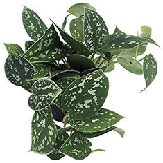 House plant care for philodendron silver, free indoor plants care guide and care tips for indoor plants. Indoor philodendron plant questions, answers and free advice and help with houseplants problems Ivy Plants, Garden Plants, Indoor Plants, Indoor Garden, Planting Succulents, Planting Flowers, Succulent Plants, Silver Plant, Pothos Plant