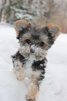 Sooo cute!! Little teacup yorkie in the snow❄️☃!#cute#adorable