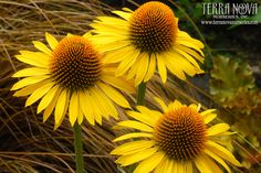 Echinacea 'Maui Sunshine' - Large bright yellow flowers, sweetly scented and floriferous. Mature flowers are a soft yellow. This vigorous plant is well-branched with strong, upright stems. Showy orange cones with green backgrounds (great for cutting and drying). Use en masse for the border, in a mixed bed, and as a cut flower.