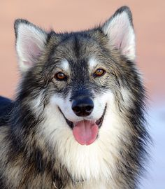 an Utonagan. I have found my perfect dog! now if only I can find one with mixed eyes, I'd be in heaven. My wolf dog dream, slowly coming true Beautiful Dog Breeds, Beautiful Dogs, Animals Beautiful, Utonagan Dog, Pet Dogs, Dogs And Puppies, Doggies, Northern Inuit Dog, Dog Suit