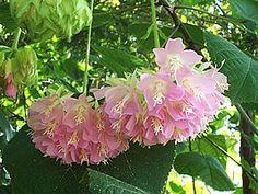 Dombeya wallichii, Astrapéia-rosa, Dombéia, Flor-de-abelha