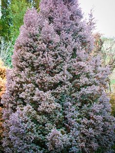 Red Star White Cypress Chamaecyparis thyoides 'Red Star' For Sale Online Evergreen Trees For Privacy, Evergreen Landscape, Privacy Trees, Privacy Plants, Evergreen Garden, Garden Trees, Landscaping Retaining Walls, Landscaping Trees, Privacy Landscaping
