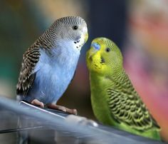 Parakeets (Budgies). We want to get two of these for the kids for Christmas.