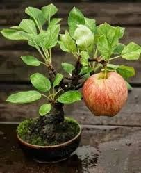 Resultado de imagem para bananeira em vaso da fruto