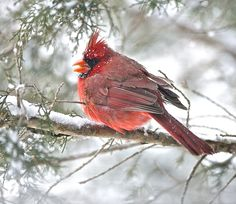 """""""Cardinal Takes Shelter in Snow"""" (Verona, Virginia) by Bill Knarr (featured in the Richmond Times-Dispatch on November 8, 2014). Fun Fact: This is a 2014 Virginia Vistas Photo Contest Honorable Mention winner in our Vistas with Wildlife Category. ENJOY!!"""