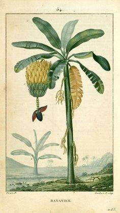 India banana plant with fruit - Google Search