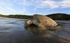 An Olive Ridley turtle returns to the ocean after nesting at the La Flor Wildlife Refuge