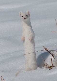 Ermine in Yellowstone National Park, Montana.