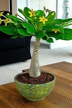 Vente BAKKER / 21099 / Plantes d'intérieur / Palmier hawaïen