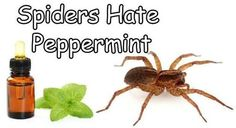 Spiders hate peppermint! Put some peppermint oil in a squirt bottle with a little water and spray your garage and all door frames. - interesting!I knew it helped keep mice away but i didnt know it worked for spiders too