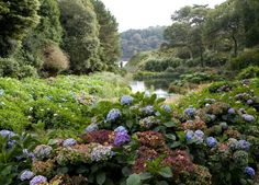 Trebah Gardens, spectacular 26 acre Cornish ravine garden that descends 200 feet to a private beach on the River Helford located near Falmouth in Cornwall