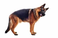 Tips for First Time German Shepherd Owners Very helpful tips!  Read before you get your first German Shepherd!  I've had four!  Love them!