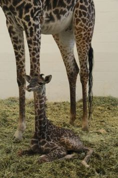 baby giraffe at Cincinnati Zoo