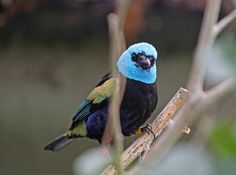 Blue-necked tanager