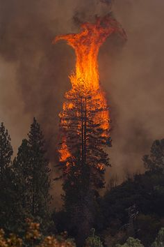 Pine tree in flames, Rim Fire, California. Please keep our brave firefighters in your thoughts and prayers!