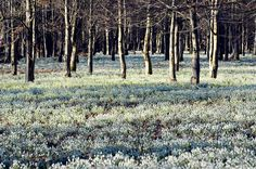 Greeting card: Winter Snowdrops Photo of Snowdrops Snowdrops should not be confused Snowdrops at Easton Lodge. Snowdrops at Easton Lodge The. Small Safe, Magnolia Trees, Magical Forest, Forest Floor, Farm Hero Saga, Spring Sign, Kew Gardens, Winter Garden, Daffodils