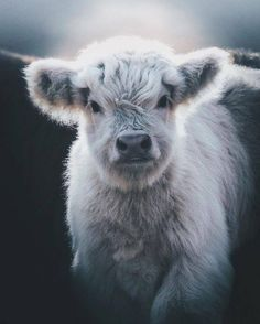 32 charming animal pictures that you do not want to miss - Tiere Bilder - Animals Wild Cute Baby Cow, Baby Cows, Cute Cows, Baby Farm Animals, Cute Sheep, Baby Elephants, Animals And Pets, Funny Animals, Wild Animals