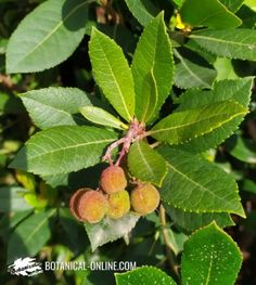 Plant-based food for lupus – Botanical online Natural Remedies For Lupus, God Vine, Pantothenic Acid, Fatty Fish, Aromatic Herbs, Body Organs, Rheumatoid Arthritis, Autoimmune Disease, Medicinal Plants