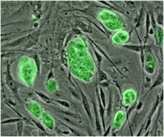 Motor Neuron-Like Cells from Umbilical Cord Mesenchymal Stem Cells Secrete Acetylcholine.