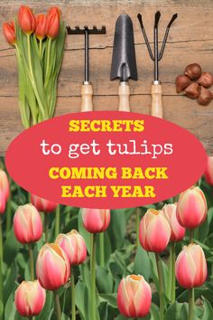 To Get Your Tulips to Come Back Each Year Learn how to choose the correct tulips, plus five gardening tips to keep your tulips returning each year.Learn how to choose the correct tulips, plus five gardening tips to keep your tulips returning each year. Growing Tulips, Planting Tulips, Tulips Garden, Cut Flower Garden, Garden Bulbs, Beautiful Flowers Garden, Shade Garden, How To Plant Tulips, Flower Gardening