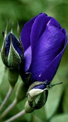 Beautiful Flower Quotes, Beautiful Rose Flowers, Love Flowers, Beautiful Images, Purple Roses, Green Leaves, Tulips, Lavender, Garden