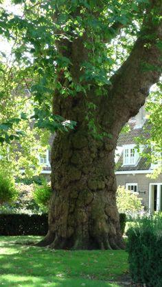 Oude boom in hofje Dordrecht doorsnee ongeveer 175 cm
