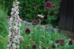 Klotlök! Lite mer kompakt och senare blomning än kirgislöken. Så vacker där den svajar i rabatten! Vackert franskt kungsljus på bilden också.