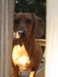 loyal and trusting. Dachshund mom forever <3