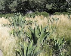 Try blue agave/mexican feather grass by Jiana P