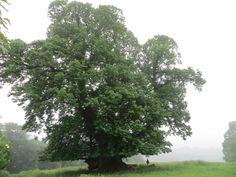 Châtaignier européen au parc de Cowdray, Midhurst, Royaume-Uni