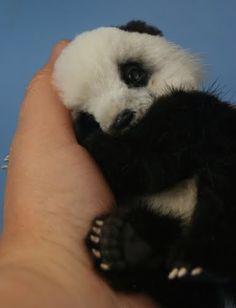 Baby Panda...mmmwwwaaahhh...