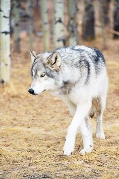 flickr.com  by photographer andy silver (canidae loup wolf)