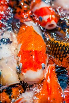 "The word koi comes from Japanese, simply meaning ""carp"" Koi Fish Pond, Koi Carp, Fish Ponds, Koi For Sale, Koy Fish, Koi Painting, Fishing For Beginners, Carpe Koi, Pond Life"