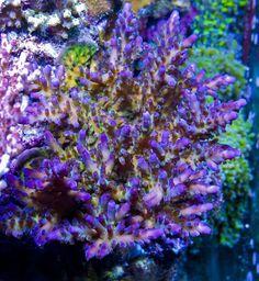 Brahm Goodis' (MammothReefer) 67 US-gallon Rimless Reef Aquarium