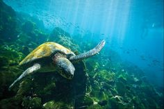 Get facts, photos, and travel tips for the Galápagos Islands, a World Heritage site in Ecuador, from National Geographic. Galapagos Islands Ecuador, Nosara, Adventure Photos, Adventure Time, Equador, Turtle Love, Coral, Unique Animals, World Heritage Sites