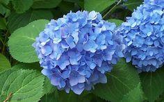 Glory blue hydrangea -right of swing bench